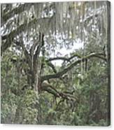 Live Oaks And Spanish Moss C Canvas Print