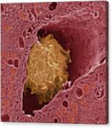 Liver Macrophage Cell Canvas Print