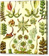 Liverworts Moss Brunnenlebermoos Haeckel Hepaticae Canvas Print