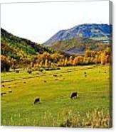 Livestock Grazing In Colorado Canvas Print