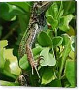 Lizard In Hedge Canvas Print