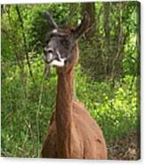 Llama Costello Waiting For Sunflowers Canvas Print