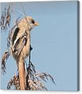 ln06 Bearded Reedling Juvenile Canvas Print