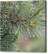 Lodge Pole Pine In The Fog Canvas Print