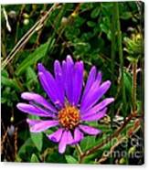 Lone Aster Canvas Print