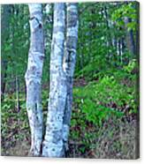 Lone Birch In The Maine Woods Canvas Print