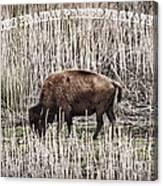 Lone Buffalo Canvas Print