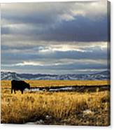 Lone Cow Against A Stormy Montana Sky. Canvas Print