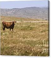 Lone Cow In Grassy Field Canvas Print