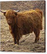 Lone Highland Cow Canvas Print