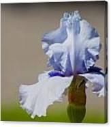 Lone Iris Canvas Print