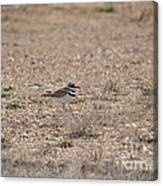 Lone Killdeer Canvas Print