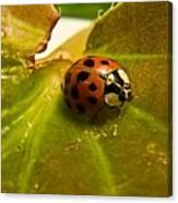 Lone Lady Bird Beetle Canvas Print