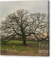 Lone Oak - Spring Canvas Print