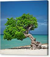 Lone Tree - Aruba Canvas Print