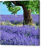 Lone Tree In Lavender Canvas Print