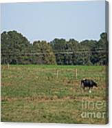 Lonely Cow Canvas Print