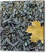 Lonely Maple Leaf And Grass Are Covered With Frost. Canvas Print