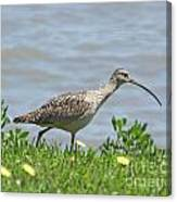 Long Billed Curlew At Palacios Bay Tx Canvas Print