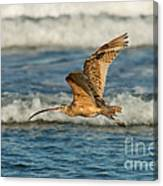 Long-billed Curlew Flying Over The Surf Canvas Print