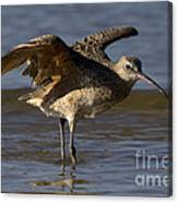 Long-billed Curlew Canvas Print