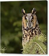 Long-eared Owl, Asio Otus (captive Canvas Print