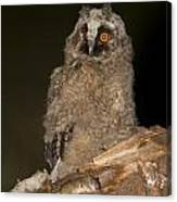 Long-eared Owl Asio Otus Canvas Print