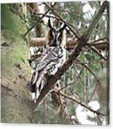 Long Eared Owl At Attention Canvas Print