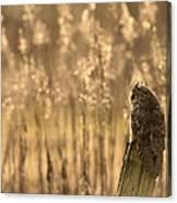 Long-eared Owl Canvas Print