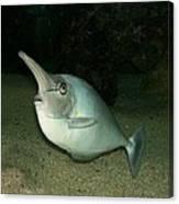 Long Nose Fish Canvas Print
