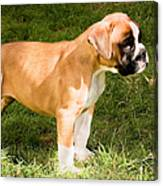 long tailed Boxer Puppy in the sun Canvas Print