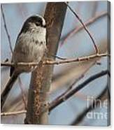 Long-tailed Tit Perched On Twig Canvas Print