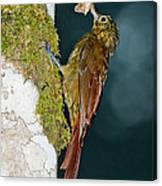 Long-tailed Woodcreeper Canvas Print