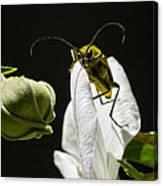 Longhorn Beetle Feeding Canvas Print