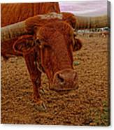 Longhorn Portrait Canvas Print
