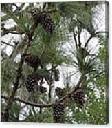 Longleaf Pine Cones Canvas Print