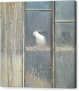 Looking Out The Coop Canvas Print