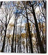 Looking Skyward Into Autumn Trees Canvas Print