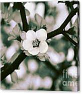 Looking Through The Blossoms 2 By Kaye Menner Canvas Print