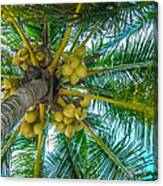 Looking Up A Coconut Tree Canvas Print