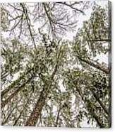 Looking Up At Snow Covered Tree Tops Canvas Print