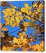 Looking Up To Yellow Leaves Canvas Print