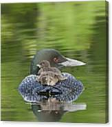 Loon Chicks -  Nap Time Canvas Print