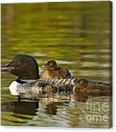 Loon Parent With Two Chicks Canvas Print