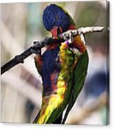 Lorikeet Bird Canvas Print