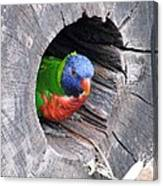 Lorikeet - Peek-a-boo Canvas Print