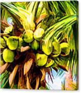 Lots Of Coconuts Canvas Print