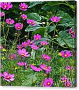 Lots Of Cosmos Canvas Print