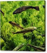 Lots Of Trout Canvas Print