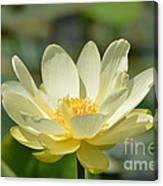 Lotus Blooming  Canvas Print